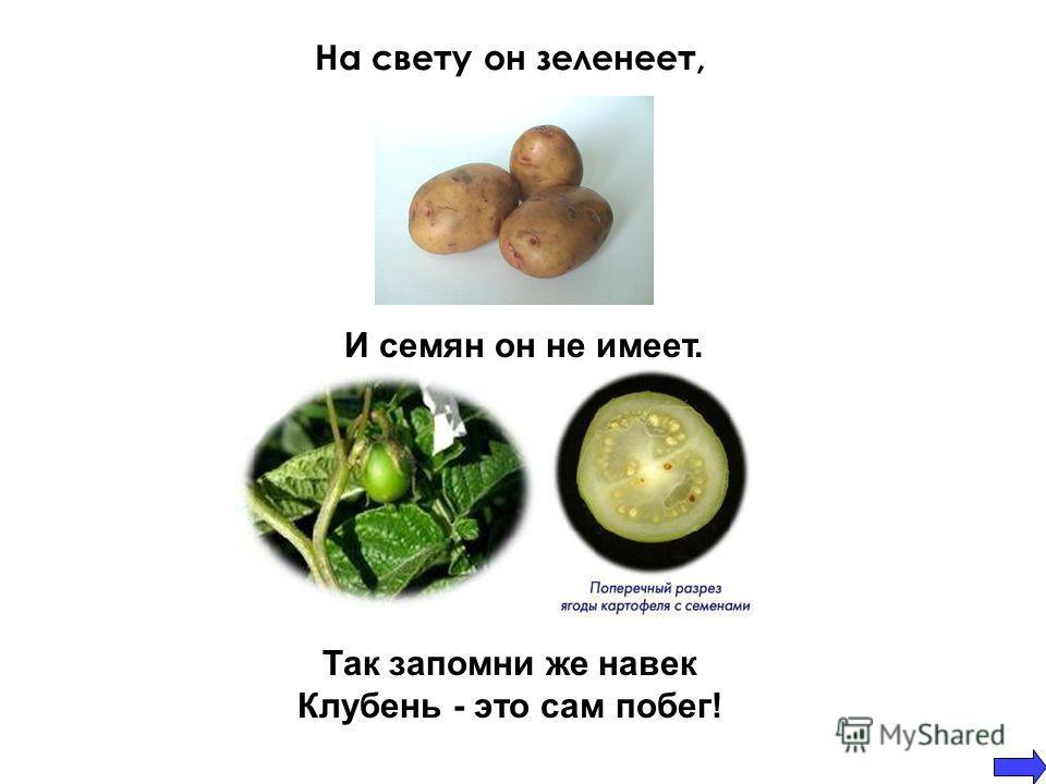 На свету он зеленеет, Так запомни же навек Клубень - это сам побег! И семян он не имеет.