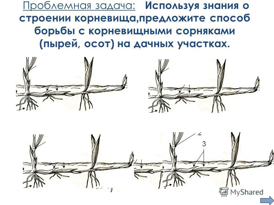 Проблемная задача: Используя знания о строении корневища, предложите способ борьбы с корневищными сорняками (пырей, осот) на дачных участках.