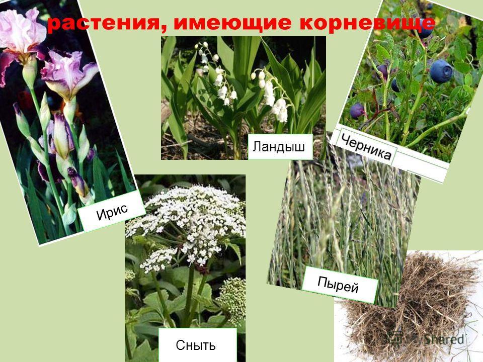 Пырей Сныть Ирис растения, имеющие корневище Ландыш