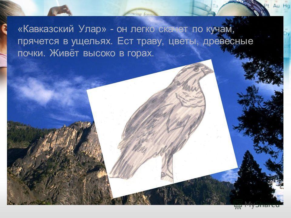 «Кавказский Улар» - он легко скачет по кучам, прячется в ущельях. Ест траву, цветы, древесные почки. Живёт высоко в горах.
