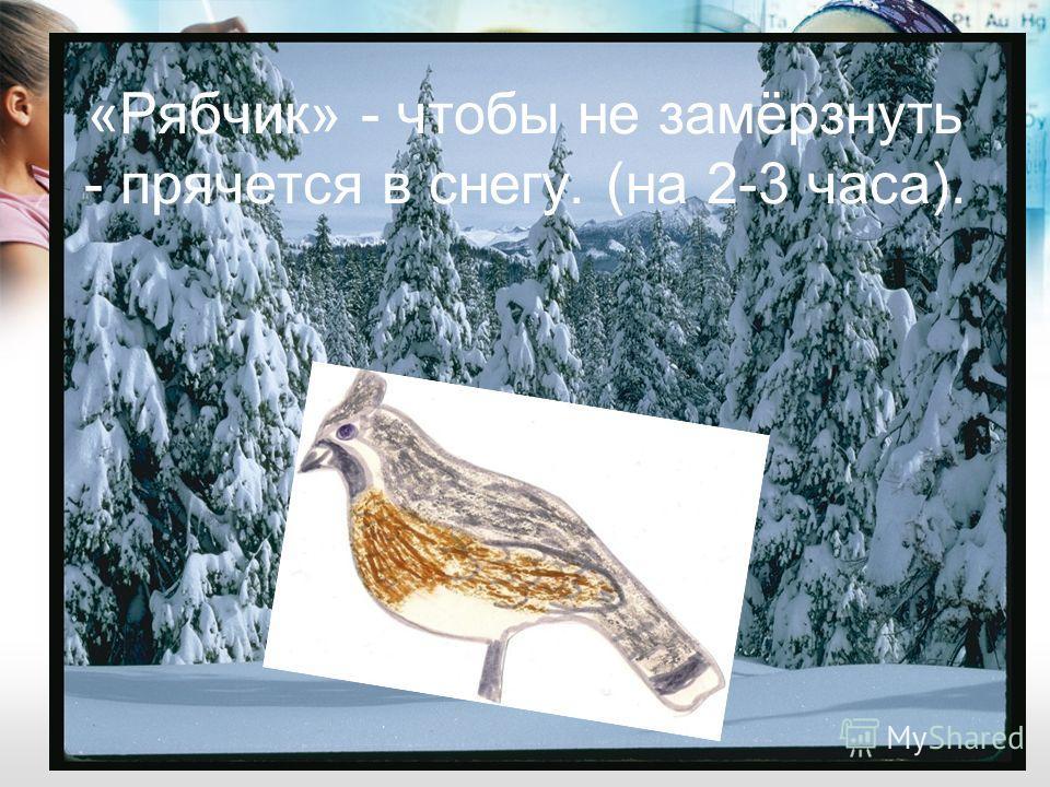 «Рябчик» - чтобы не замёрзнуть - прячется в снегу. (на 2-3 часа).