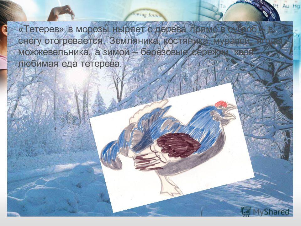 «Тетерев» в морозы ныряет с дерева прямо в сугроб – в снегу отогревается. Земляника, костяника, муравей, ягоды можжевельника, а зимой – берёзовые серёжки, хвоя – любимая еда тетерева.