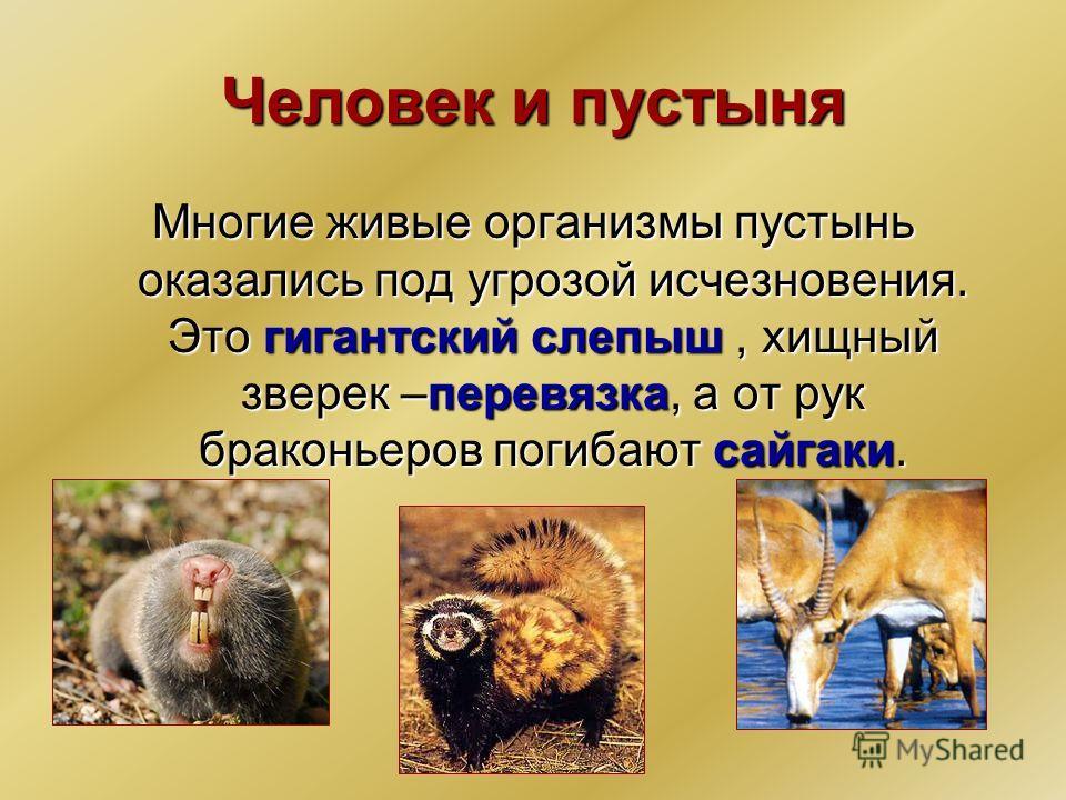 Человек и пустыня Многие живые организмы пустынь оказались под угрозой исчезновения. Это гигантский слепыш, хищный зверек –перевязка, а от рук браконьеров погибают сайгаки.