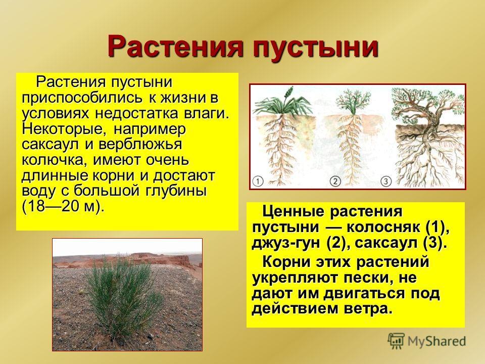Растения пустыни Растения пустыни приспособились к жизни в условиях недостатка влаги. Некоторые, например саксаул и верблюжья колючка, имеют очень длинные корни и достают воду с большой глубины (1820 м). Ценные растения пустыни колосняк (1), джуз-г
