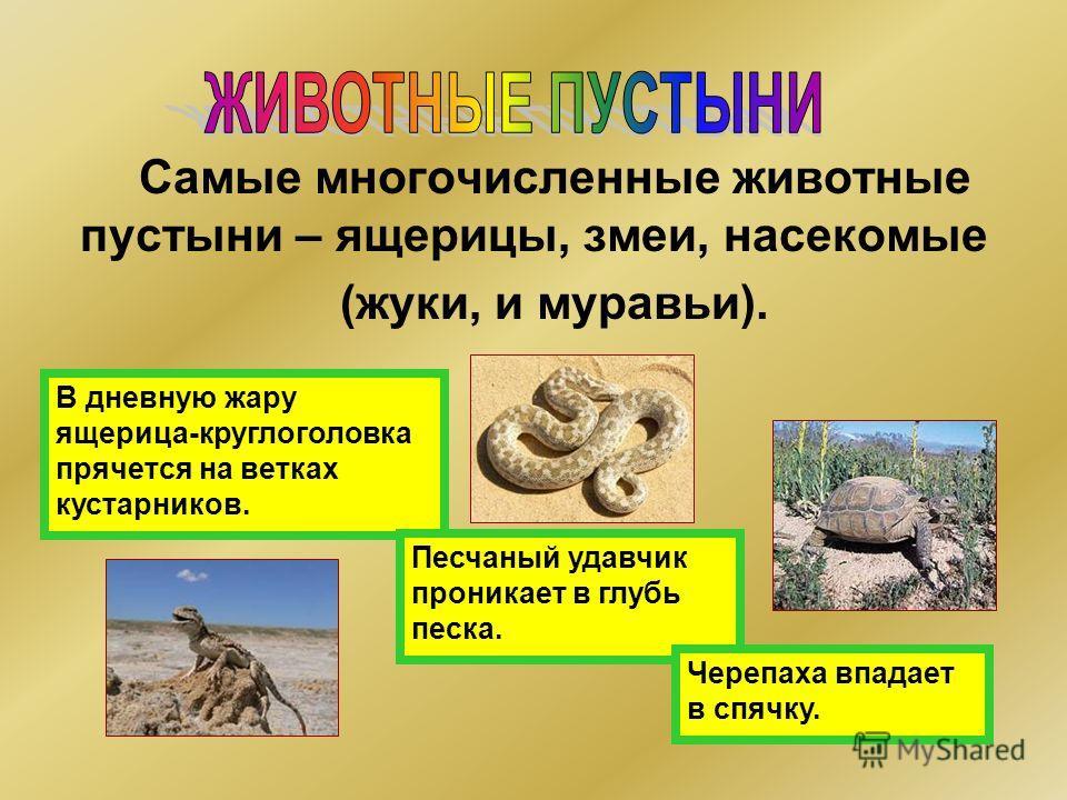 Самые многочисленные животные пустыни – ящерицы, змеи, насекомые (жуки, и муравьи). В дневную жару ящерица-круглоголовка прячется на ветках кустарников. Песчаный удавчик проникает в глубь песка. Черепаха впадает в спячку.
