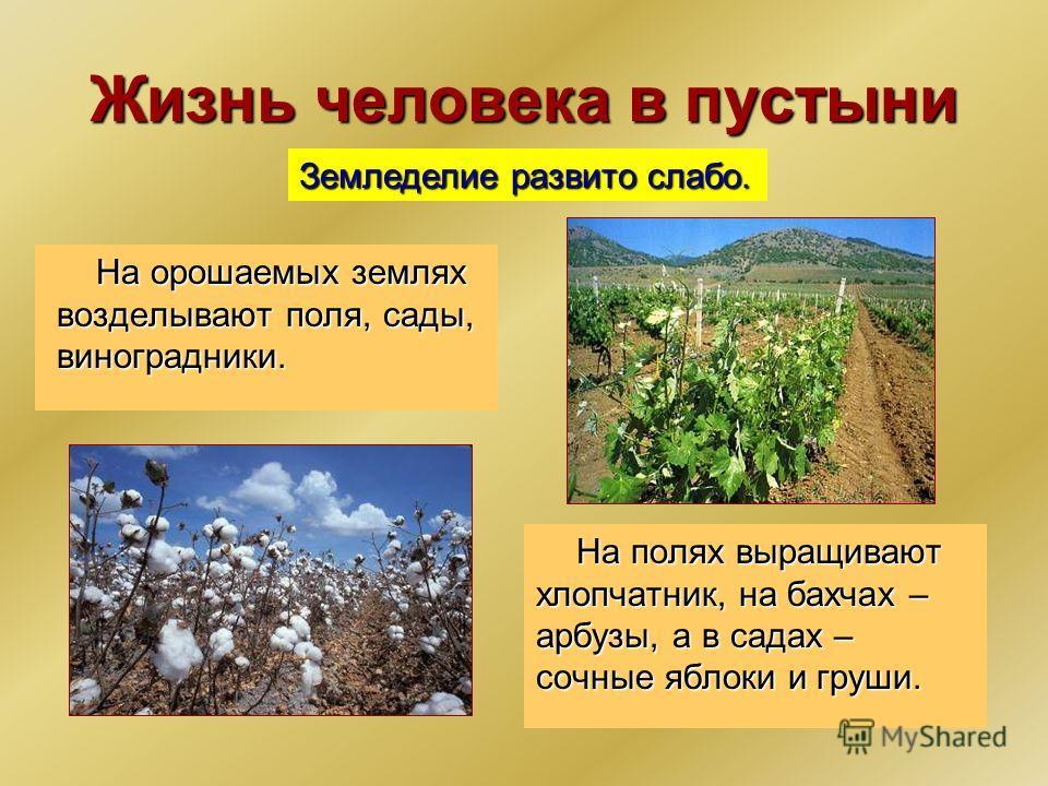 Жизнь человека в пустыни На орошаемых землях возделывают поля, сады, виноградники. Земледелие развито слабо. На полях выращивают хлопчатник, на бахчах – арбузы, а в садах – сочные яблоки и груши.