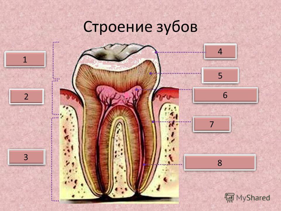 Строение зубов Коронка Шейка Корень Зубная пульпа Дентин Эмаль 2 2 3 3 1 1 4 4 5 5 6 6 Цемент 7 7 Нервы и сосуды 8 8