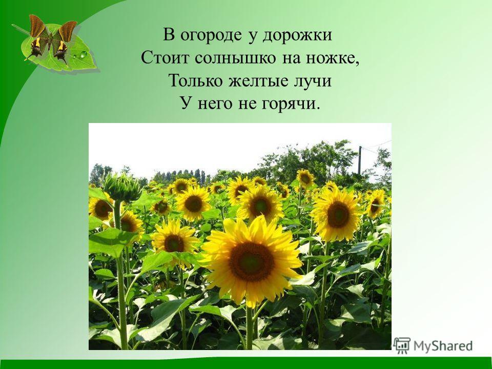 В огороде у дорожки Стоит солнышко на ножке, Только желтые лучи У него не горячи.