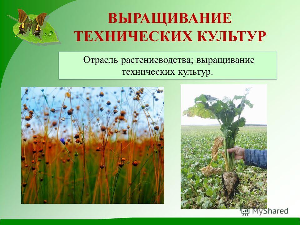 ВЫРАЩИВАНИЕ ТЕХНИЧЕСКИХ КУЛЬТУР Отрасль растениеводства; выращивание технических культур.
