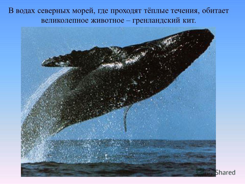 В водах северных морей, где проходят тёплые течения, обитает великолепное животное – гренландский кит.