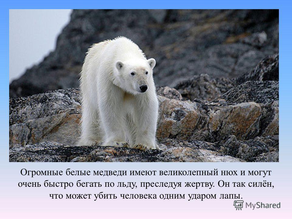 Огромные белые медведи имеют великолепный нюх и могут очень быстро бегать по льду, преследуя жертву. Он так силён, что может убить человека одним ударом лапы.