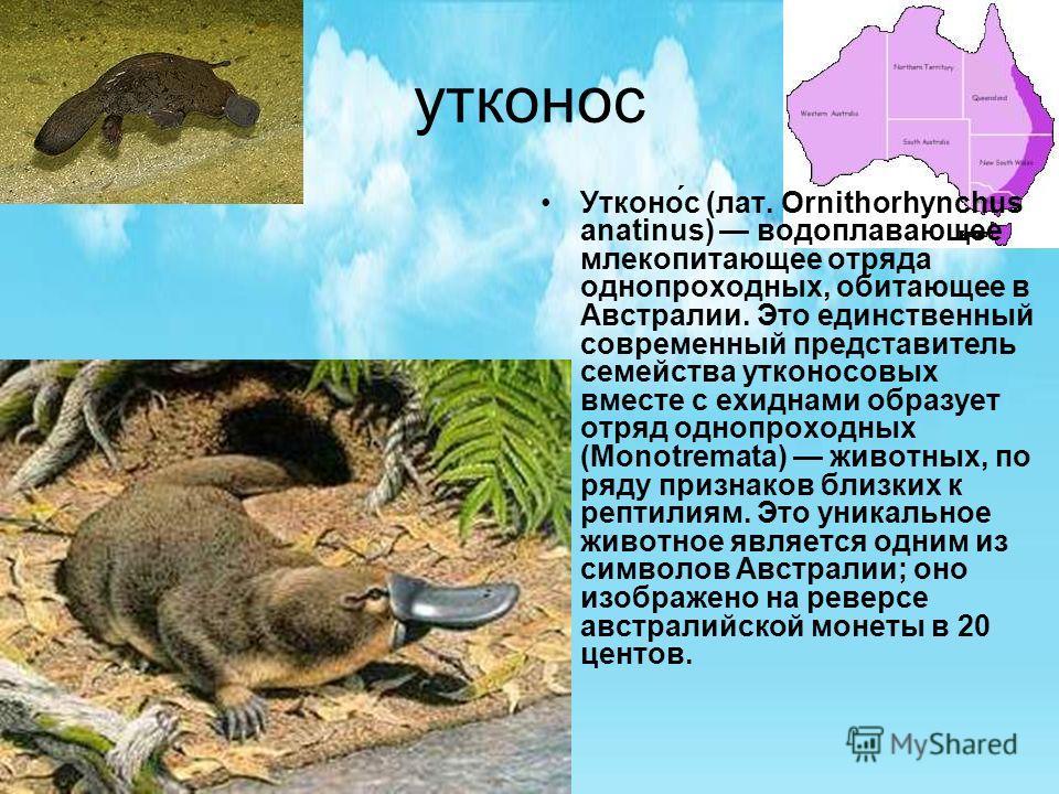 утконос Утконо́с (лат. Ornithorhynchus anatinus) водоплавающее млекопитающее отряда однопроходных, обитающее в Австралии. Это единственный современный представитель семейства утконосовых вместе с ехиднами образует отряд однопроходных (Monotremata) жи