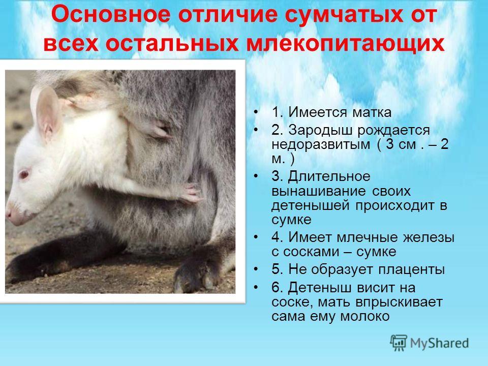 Основное отличие сумчатых от всех остальных млекопитающих 1. Имеется матка 2. Зародыш рождается недоразвитым ( 3 см. – 2 м. ) 3. Длительное вынашивание своих детенышей происходит в сумке 4. Имеет млечные железы с сосками – сумке 5. Не образует плацен