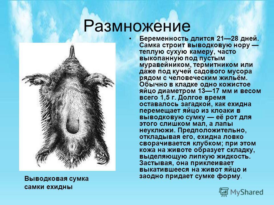 Размножение Беременность длится 2128 дней. Самка строит выводковую нору теплую сухую камеру, часто выкопанную под пустым муравейником, термитником или даже под кучей садового мусора рядом с человеческим жильём. Обычно в кладке одно кожистое яйцо диам