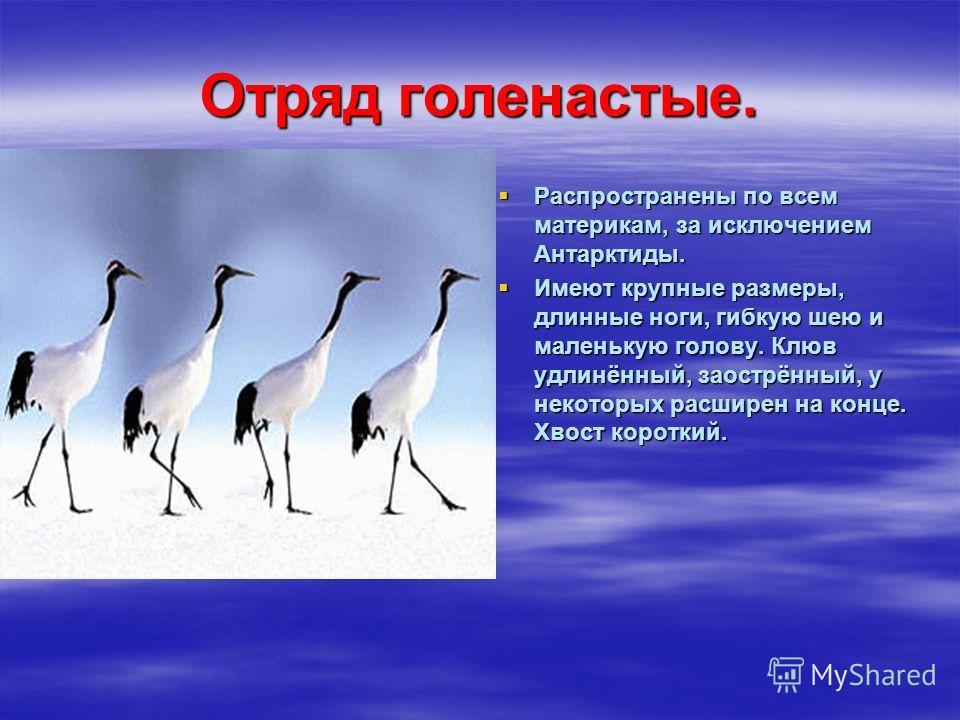 Отряд голенастые. Распространены по всем материкам, за исключением Антарктиды. Распространены по всем материкам, за исключением Антарктиды. Имеют крупные размеры, длинные ноги, гибкую шею и маленькую голову. Клюв удлинённый, заострённый, у некоторых