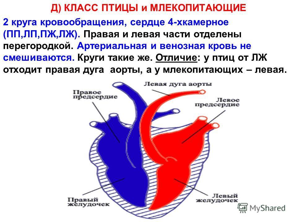 Д) КЛАСС ПТИЦЫ и МЛЕКОПИТАЮЩИЕ 2 круга кровообращения, сердце 4-хкамерное (ПП,ЛП,ПЖ,ЛЖ). Правая и левая части отделены перегородкой. Артериальная и венозная кровь не смешиваются. Круги такие же. Отличие: у птиц от ЛЖ отходит правая дуга аорты, а у мл