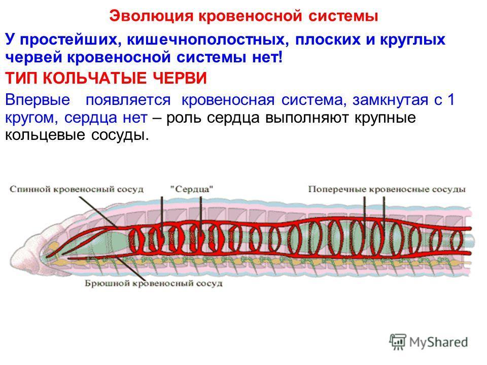 Эволюция кровеносной системы У простейших, кишечнополостных, плоских и круглых червей кровеносной системы нет! ТИП КОЛЬЧАТЫЕ ЧЕРВИ Впервые появляется кровеносная система, замкнутая с 1 кругом, сердца нет – роль сердца выполняют крупные кольцевые сосу
