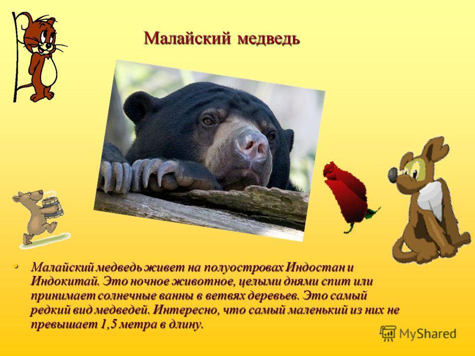 Малайский медведь Малайский медведь живет на полуостровах Индостан и Индокитай. Это ночное животное, целыми днями спит или принимает солнечные ванны в ветвях деревьев. Это самый редкий вид медведей. Интересно, что самый маленький из них не превышает