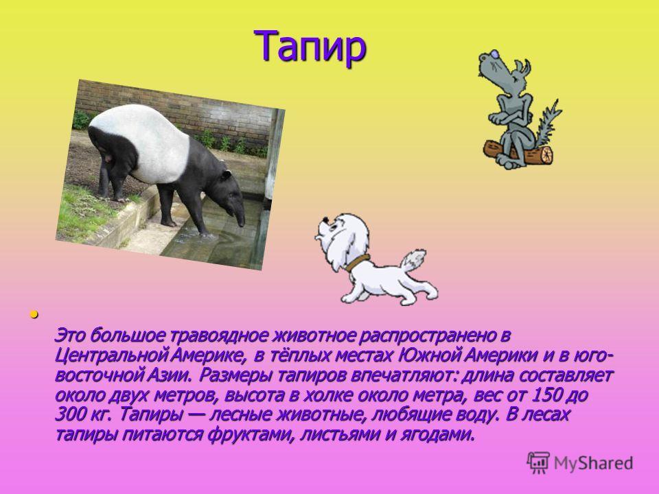 Тапир Тапир Это большое травоядное животное распространено в Центральной Америке, в тёплых местах Южной Америки и в юго- восточной Азии. Размеры тапиров впечатляют: длина составляет около двух метров, высота в холке около метра, вес от 150 до 300 кг.