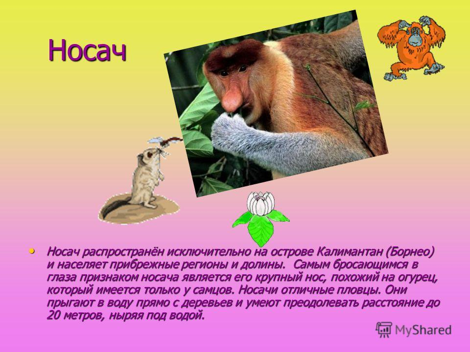 Носач Носач распространён исключительно на острове Калимантан (Борнео) и населяет прибрежные регионы и долины. Самым бросающимся в глаза признаком носача является его крупный нос, похожий на огурец, который имеется только у самцов. Носачи отличные пл