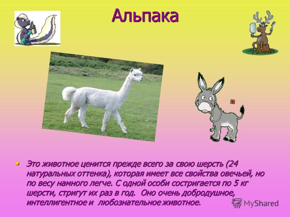 Альпака Альпака Это животное ценится прежде всего за свою шерсть (24 натуральных оттенка), которая имеет все свойства овечьей, но по весу намного легче. С одной особи состригается по 5 кг шерсти, стригут их раз в год. Оно очень добродушное, интеллиге