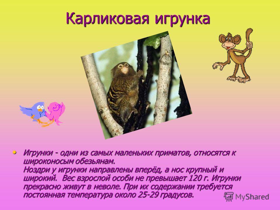 Карликовая игрунка Игрунки - одни из самых маленьких приматов, относятся к широконосым обезьянам. Ноздри у игрунки направлены вперёд, а нос крупный и широкий. Вес взрослой особи не превышает 120 г. Игрунки прекрасно живут в неволе. При их содержании