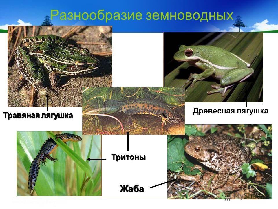 Разнообразие земноводных Древесная лягушка Травяная лягушка Жаба Тритоны