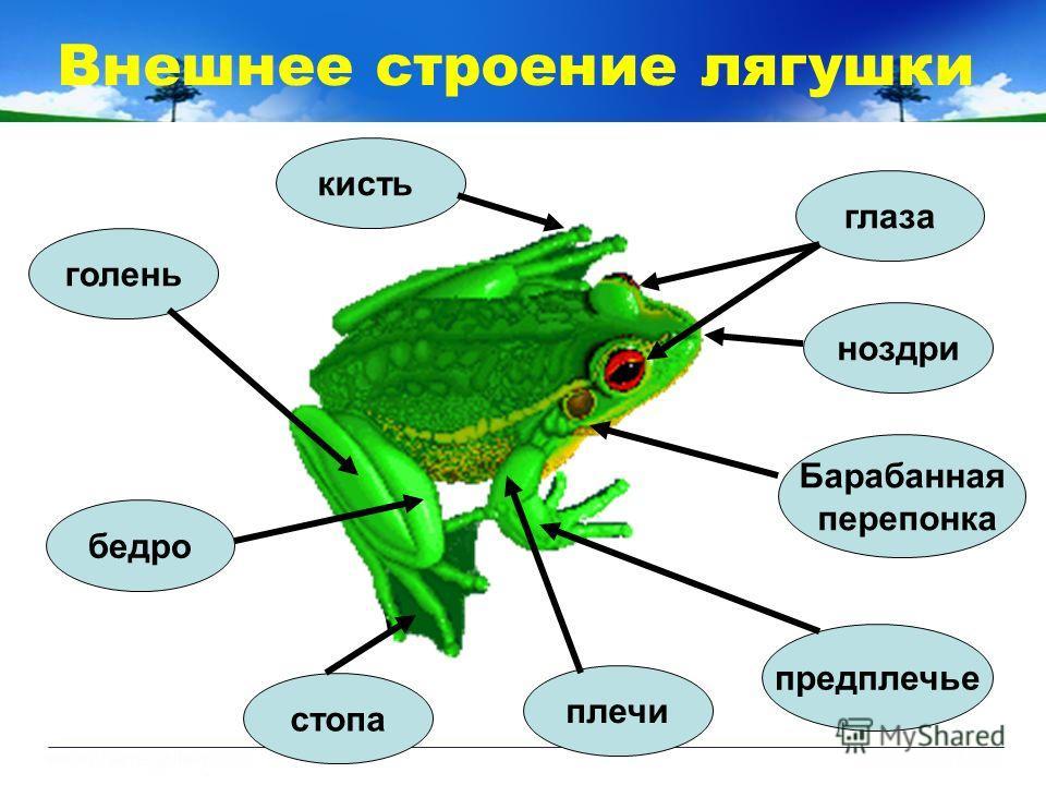 Внешнее строение лягушки ноздри глаза плечи бедро голень стопа Барабанная перепонка предплечье кисть
