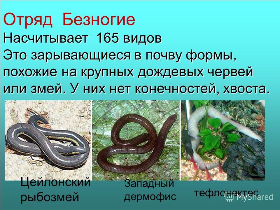 Отряд Безногие Насчитывает 165 видов Это зарывающиеся в почву формы, похожие на крупных дождевых червей или змей. У них нет конечностей, хвоста. Цейлонский рыбозмей Западный дермофис тефлонектес