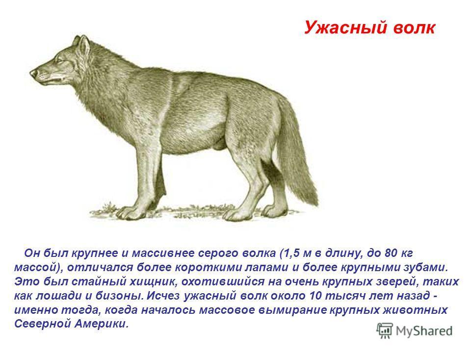 Ужасный волк Он был крупнее и массивнее серого волка (1,5 м в длину, до 80 кг массой), отличался более короткими лапами и более крупными зубами. Это был стайный хищник, охотившийся на очень крупных зверей, таких как лошади и бизоны. Исчез ужасный вол