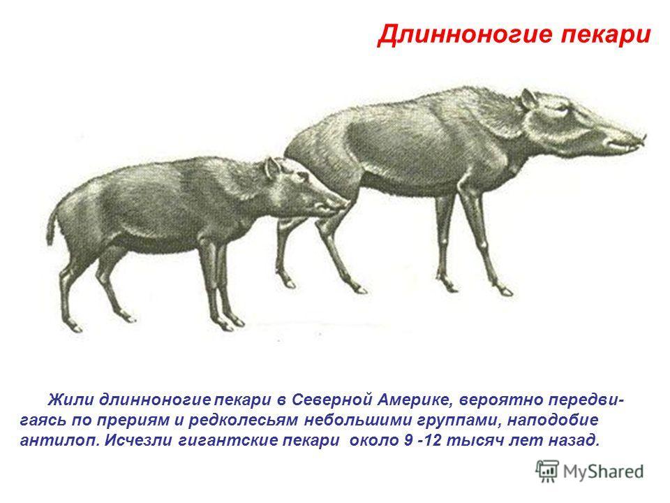 Жили длинноногие пекари в Северной Америке, вероятно передви- гаясь по прериям и редколесьям небольшими группами, наподобие антилоп. Исчезли гигантские пекари около 9 -12 тысяч лет назад. Длинноногие пекари