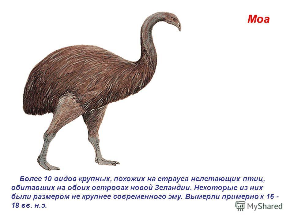 Моа Более 10 видов крупных, похожих на страуса нелетающих птиц, обитавших на обоих островах новой Зеландии. Некоторые из них были размером не крупнее современного эму. Вымерли примерно к 16 - 18 вв. н.э.
