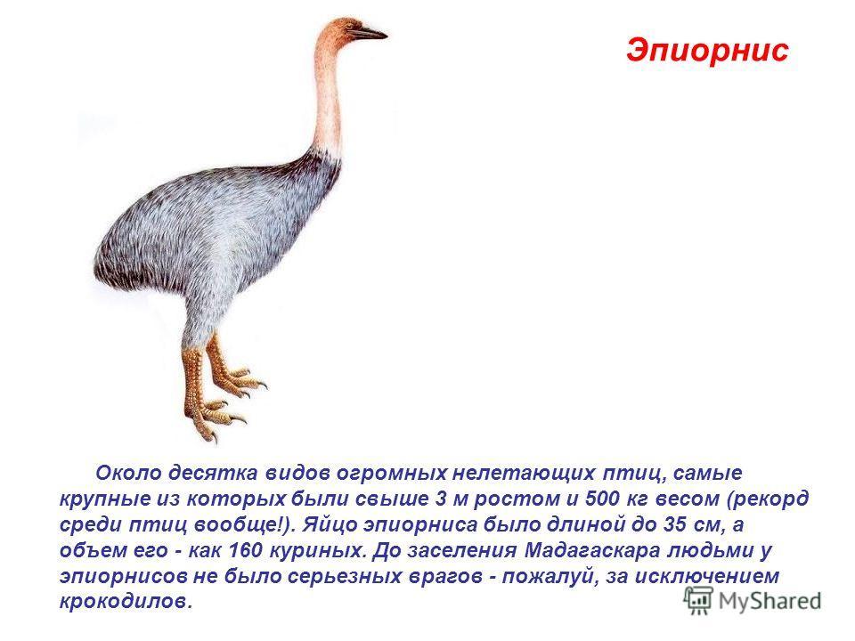 Эпиорнис Около десятка видов огромных нелетающих птиц, самые крупные из которых были свыше 3 м ростом и 500 кг весом (рекорд среди птиц вообще!). Яйцо эпиорниса было длиной до 35 см, а объем его - как 160 куриных. До заселения Мадагаскара людьми у эп