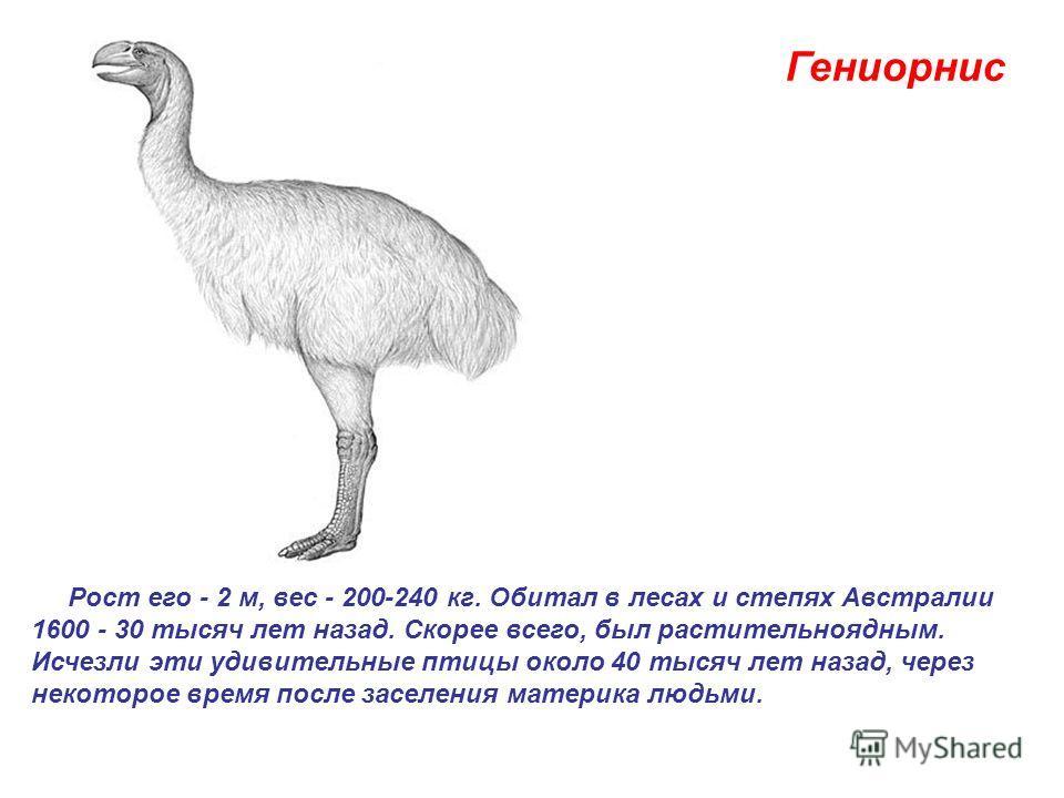Гениорнис Рост его - 2 м, вес - 200-240 кг. Обитал в лесах и степях Австралии 1600 - 30 тысяч лет назад. Скорее всего, был растительноядным. Исчезли эти удивительные птицы около 40 тысяч лет назад, через некоторое время после заселения материка людьм