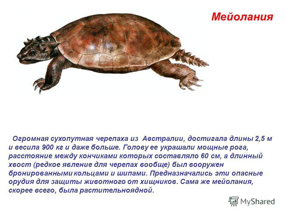 Мейолания Огромная сухопутная черепаха из Австралии, достигала длины 2,5 м и весила 900 кг и даже больше. Голову ее украшали мощные рога, расстояние между кончиками которых составляло 60 см, а длинный хвост (редкое явление для черепах вообще) был воо