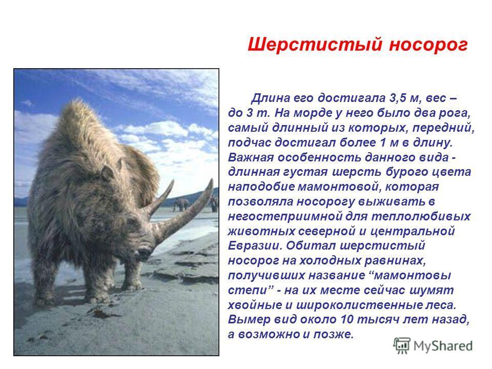 Шерстистый носорог Длина его достигала 3,5 м, вес – до 3 т. На морде у него было два рога, самый длинный из которых, передний, подчас достигал более 1 м в длину. Важная особенность данного вида - длинная густая шерсть бурого цвета наподобие мамонтово