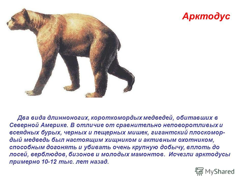 . Арктодус Два вида длинноногих, короткомордых медведей, обитавших в Северной Америке. В отличие от сравнительно неповоротливых и всеядных бурых, черных и пещерных мишек, гигантский плоскомор- дый медведь был настоящим хищником и активным охотником,