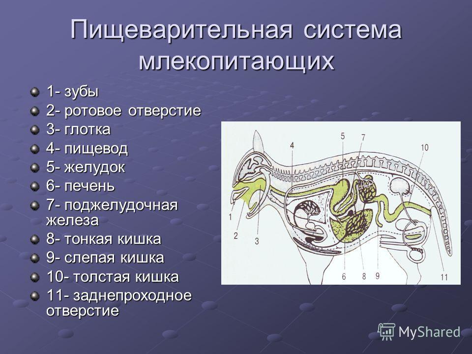 Пищеварительная система млекопитающих 1- зубы 2- ротовое отверстие 3- глотка 4- пищевод 5- желудок 6- печень 7- поджелудочная железа 8- тонкая кишка 9- слепая кишка 10- толстая кишка 11- заднепроходное отверстие