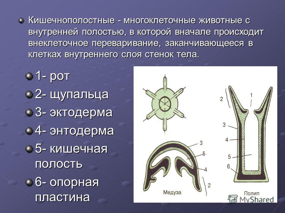 1- рот 2- щупальца 3- эктодерма 4- энтодерма 5- кишечная полость 6- опорная пластина Кишечнополостные - многоклеточные животные с внутренней полостью, в которой вначале происходит внеклеточное переваривание, заканчивающееся в клетках внутреннего слоя