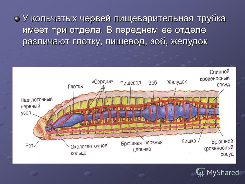 У кольчатых червей