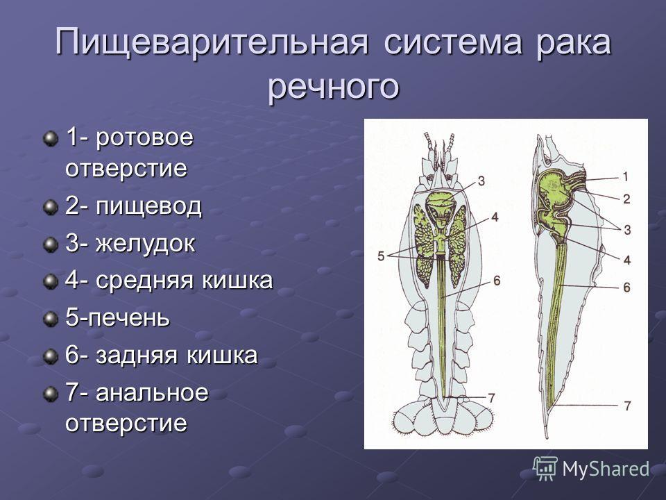 Пищеварительная система рака речного 1- ротовое отверстие 2- пищевод 3- желудок 4- средняя кишка 5-печень 6- задняя кишка 7- анальное отверстие