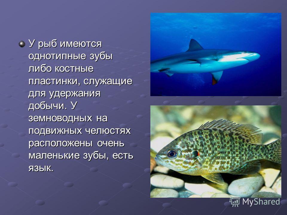 У рыб имеются однотипные зубы либо костные пластинки, служащие для удержания добычи. У земноводных на подвижных челюстях расположены очень маленькие зубы, есть язык.