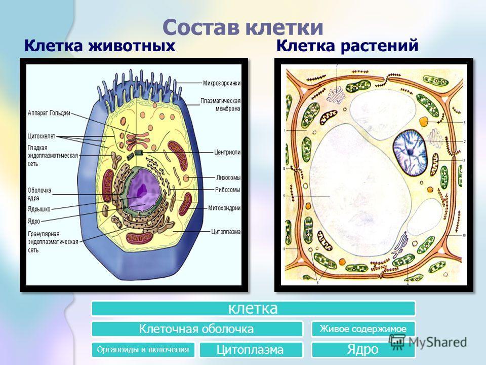 Состав клетки Клетка животныхКлетка растений клетка Клеточная оболочка Органоиды и включения Цитоплазма Живое содержимое Ядро