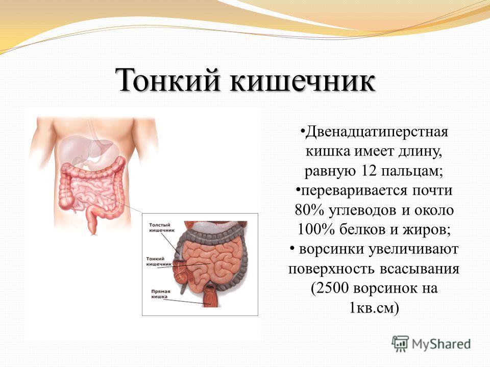 Тонкий кишечник Двенадцатиперстная кишка имеет длину, равную 12 пальцам; переваривается почти 80% углеводов и около 100% белков и жиров; ворсинки увеличивают поверхность всасывания (2500 ворсинок на 1кв.см)