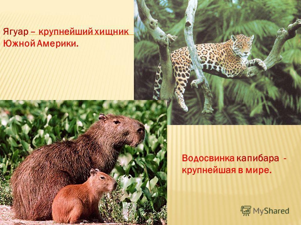 Ягуар – крупнейший хищник Южной Америки. Водосвинка капибара - крупнейшая в мире.