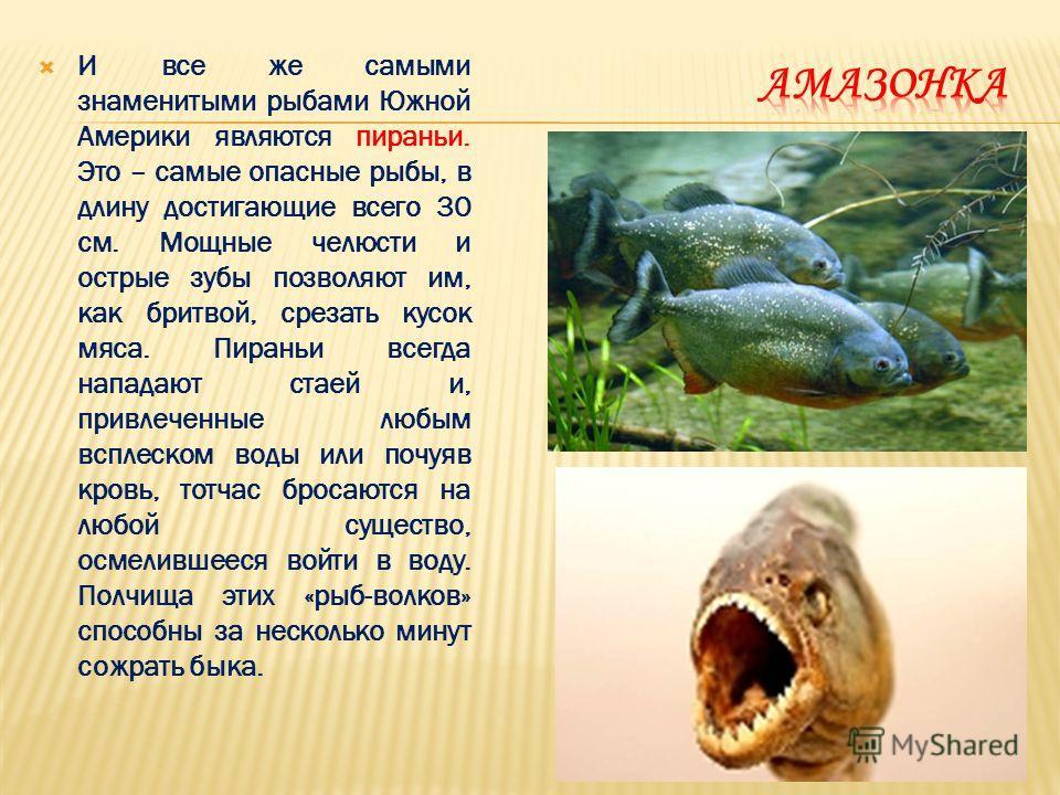 И все же самыми знаменитыми рыбами Южной Америки являются пираньи. Это – самые опасные рыбы, в длину достигающие всего 30 см. Мощные челюсти и острые зубы позволяют им, как бритвой, срезать кусок мяса. Пираньи всегда нападают стаей и, привлеченные лю