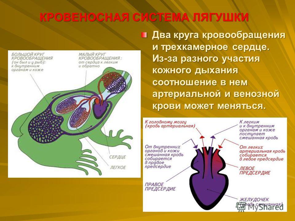 Два круга кровообращения и трехкамерное сердце. Из-за разного участия кожного дыхания соотношение в нем артериальной и венозной крови может меняться. КРОВЕНОСНАЯ СИСТЕМА ЛЯГУШКИ