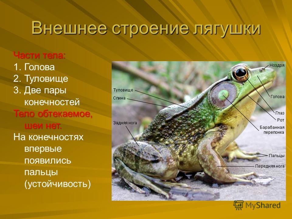 Внешнее строение лягушки Части тела: 1.Голова 2.Туловище 3.Две пары конечностей Тело обтекаемое, шеи нет. На конечностях впервые появились пальцы (устойчивость)