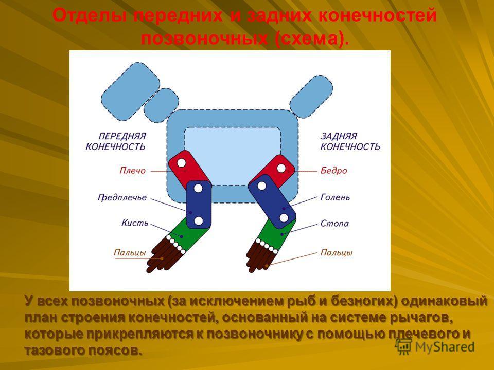 Отделы передних и задних конечностей позвоночных (схема). У всех позвоночных (за исключением рыб и безногих) одинаковый план строения конечностей, основанный на системе рычагов, которые прикрепляются к позвоночнику с помощью плечевого и тазового пояс