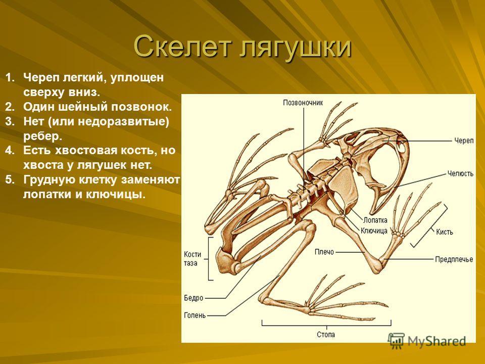 Скелет лягушки 1.